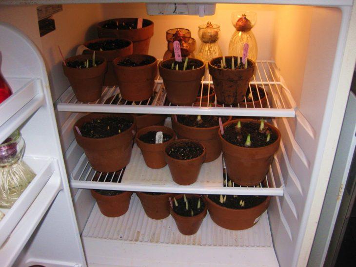 Тюльпаны в холодильнике