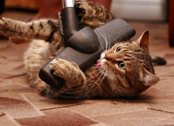 Кота гладят пылесосом