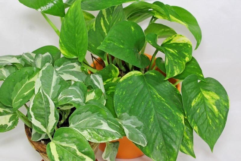 Озеленение теневой стороны квартиры: 9 растений, которые растут и без солнечного света